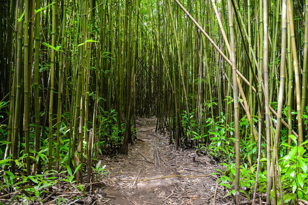 Bamboo Forest, Haiku - Maui